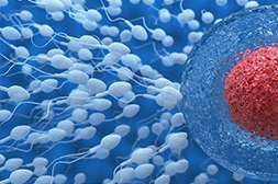 Благодаря Alfa Man улучшается сперматогенез.